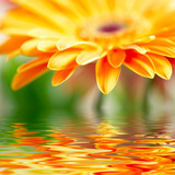 Fototapety Closeup photo of yellow daisy-gerbera