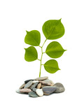 Shoot of tree growing from pebbles isolated on white background