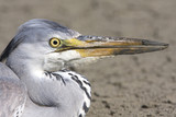 great grey heron / Ardea cinerea