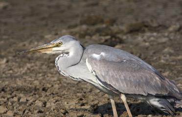 great grey heron / Ardea cinerea