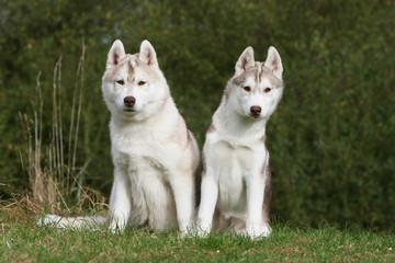 deux jeunes hsky sibériens assis de face