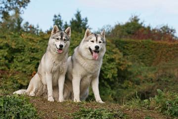deux husky assis de face tirant la langue à la campagne