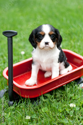 Cavalier King Charles Puppy Sitting on Red Metal Wagon