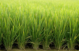 green rice farm