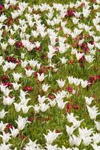 Tulipany i pierwiosnki