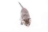 gray pussy cat poster