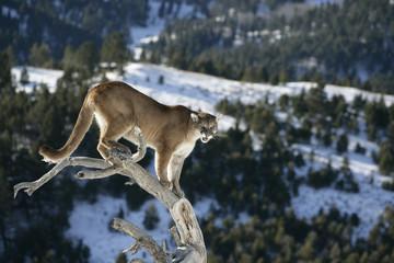 Mountain Lion od Dead Tree Snag