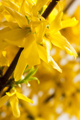 Macro of yellow forsythia flower