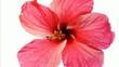Fermeture d'une fleur d'hibiscus rouge.