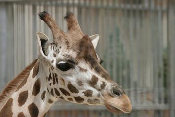 9450 - Giraffen-Profil