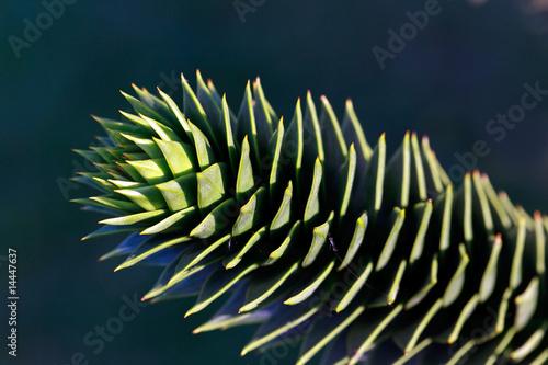 araucaria araucana affenbaum von svenja98 lizenzfreies. Black Bedroom Furniture Sets. Home Design Ideas