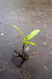 Growing green sprout in asphalt - Fine Art prints