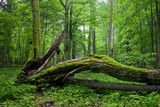 Fototapety Deciduous stand of Bialowieza Forest