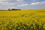 Rape field and blue sky with fluffy clouds poster
