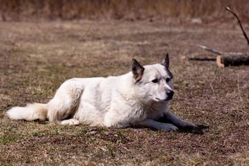 lying white dog