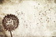 blowing dandelion background