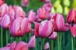 Pink tulipes