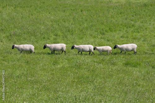 Hintereinander laufende Schafe Poster