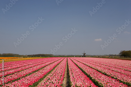 Champs de tulipes roses