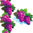 Juicy purple grapes
