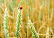 wheat and ladybug