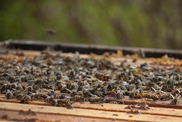 Bienen an ihrem Bienenstock