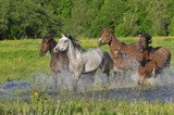 Horses run on water with splashes on a meadow