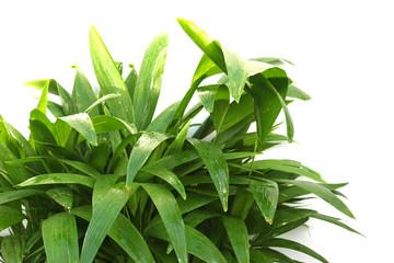 palmiers en herbes