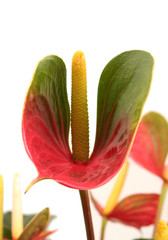 Hawaiian Obake Anthurium