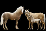 family of welsh ponies isolated poster