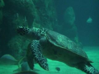 Turtle swimming (HD version)