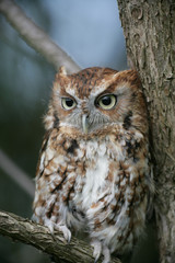 Female Red Phase Eastern Screech Owl