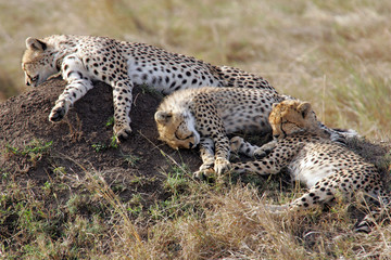 Three Cheetahs on a Termite Mound