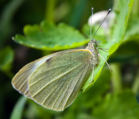 Small white butterfly (Pieris rapae) on leaf