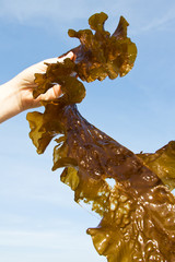 a brown seaweed in a hand