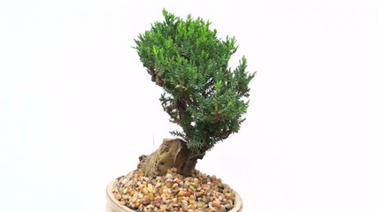 Bonsai tree seamless loop background - HD