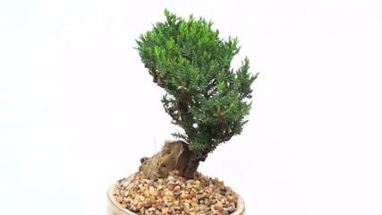 Bonsai tree seamless loop background - HD