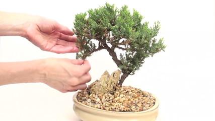 Woman prunes miniature Japanese bonsai tree - HD