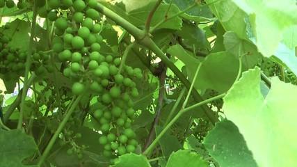 Vite e grappoli d'uva