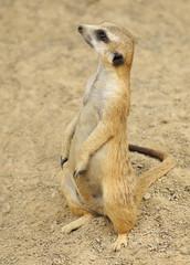 Meerkat Alert