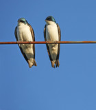 Tree Swallows poster