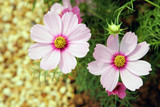 Two beautiful pink Cosmos flowers in soft focus poster