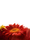 Red daisy card background