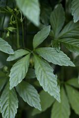 Jiaogulan lat. Gynostemma pentaphyllum