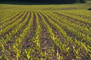 Maisfeldreihen