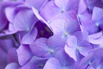 青紫のアジサイ