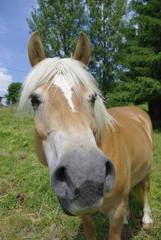 cheval roux 3