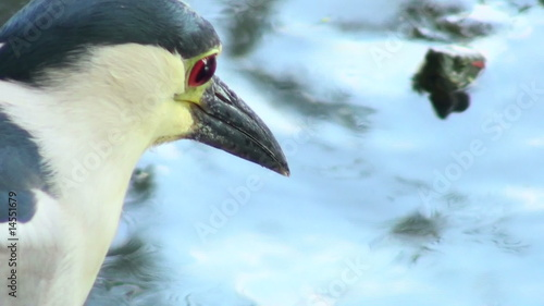 Heron close-up - HD