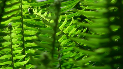 Ferns in breeze - HD