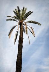 Palme (Arecaceae)